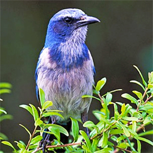 Management and Restoration of Florida Scrub-Jay Populations