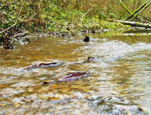 Stream Habitat Quality Indices